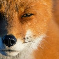 Fox 617