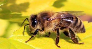 ПчелаМайя