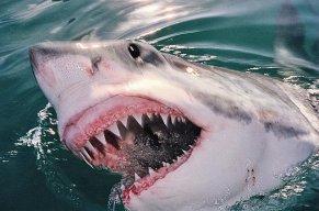 TOXA-SHARK