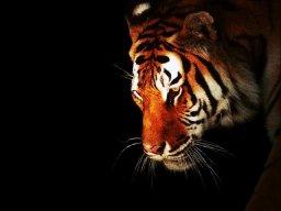 тиграхауд